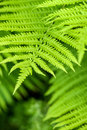 Fresh green fern leaves nature background in the garden Stock Photography