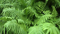 Fresh green fern leaves outdoors photography of forest dryopteridaceae Royalty Free Stock Images