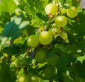 Fresh green gooseberries on the branch of bush, close-up. Royalty Free Stock Photo