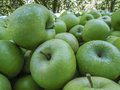 Fresh green Granny Smith apples Royalty Free Stock Photo