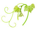 Fresh green grape leaf isolated on white background Stock Images