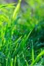 Fresh green grass. Royalty Free Stock Images