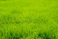 Fresh green grass close up Royalty Free Stock Images