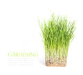 Fresh green grass isolated on white background with space for text Royalty Free Stock Photo