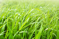 Fresh green grass in the morning light Royalty Free Stock Image