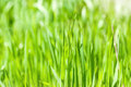 Fresh green grass in sunshine shallow dof Royalty Free Stock Image