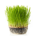 Fresh green grass on white background Royalty Free Stock Photo