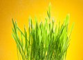 Fresh green grass on yellow Royalty Free Stock Images