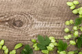 Fresh green hop cones on old wooden background. Ingredient for beer production. Top view with copy space for your text Royalty Free Stock Photo