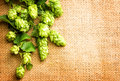 Fresh green hops closeup. Branches of hop with cones Royalty Free Stock Photo