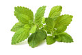 Fresh green leaf of melissa lemon balm over white Royalty Free Stock Photo
