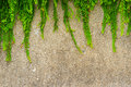 Fresh green leaf plant on grunge wall background. Royalty Free Stock Photo