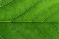 Fresh Green Leaf Texture Closeup Royalty Free Stock Photo