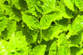 Fresh green leafs background in the sunlight effect Royalty Free Stock Photo