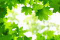 Fresh Green Leaves. Stock Photography