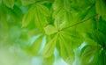 Fresh green leaves conker or buckeye in spring Stock Image