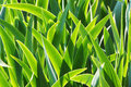 Fresh green leaves of iris in the morning light - natural floral Royalty Free Stock Photo