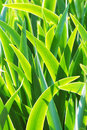 Fresh green leaves of iris in the morning light - natural floral background Royalty Free Stock Photo