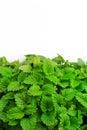 Fresh green leaves of lemon balm as a background