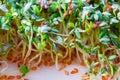 Fresh green Lepidium sativum L. Royalty Free Stock Photo