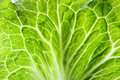 Fresh green Lettuce Royalty Free Stock Photo