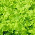 Fresh green Lettuce Stock Images