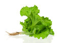 Fresh green lettuce root isolated white background Stock Photography