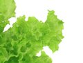 Fresh and green lettuce on a white background Stock Photography