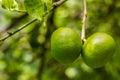 Fresh green lime.