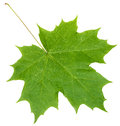 Fresh green maple leaf isolated on white Royalty Free Stock Photo