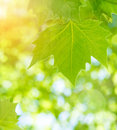 Fresh green maple leaves over blurred foliage background sun light spring season abstract natural border Royalty Free Stock Photos