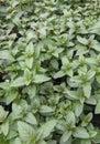 Fresh green mentha piperita leaves