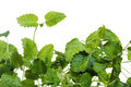 Fresh green mint Royalty Free Stock Photography