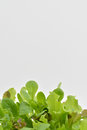Fresh green mixed salad leaves bottom border landscape Royalty Free Stock Photo