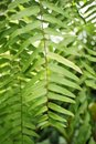 Green nephrolepis cordifolia fern in nature garden Royalty Free Stock Photo