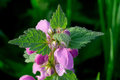 Fresh green nettle with flowers Royalty Free Stock Photography