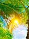 Fresh green palm tree leaves bright yellow sun light through exotic foliage beauty of tropical nature summer holidays concept Stock Photography