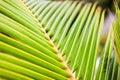 Fresh green palm tree leaves