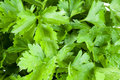 Fresh green parsley Stock Photo