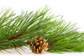 Fresh green pine branches and a gold bump Royalty Free Stock Photo