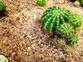 Fresh Green Round Spiky Cactus in the Sand Royalty Free Stock Photo