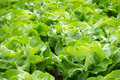 Fresh green salad lettuce on a field Stock Image