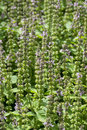 Fresh Green Satureja Montana