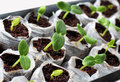 Fresh green  seedlings Royalty Free Stock Photo