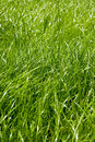 Fresh green spring grass Royalty Free Stock Images