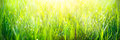 Fresh green spring grass with dew drops closeup Royalty Free Stock Photo