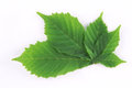 Fresh green spring leaves Royalty Free Stock Photo