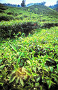 Fresh green tea fields Royalty Free Stock Image