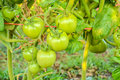 Fresh green tomato a growing in the garden Royalty Free Stock Image