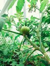 Fresh green tomatoes plant organic vegetable with drops hanging on vine of tomato tree for cooking or tomato juice high in fiber, Royalty Free Stock Photo
